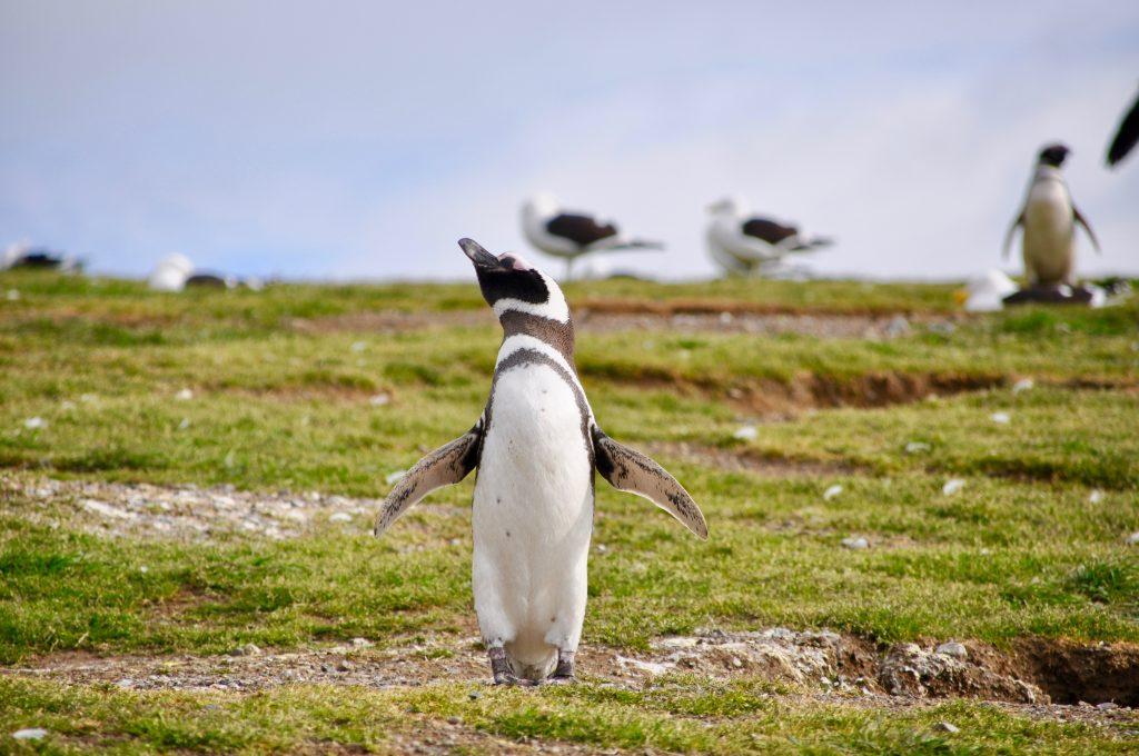 Nahe Punta Arenas – auf der Isla Magdalena – kann man mit Magellan-Pinguinen spazieren gehen.