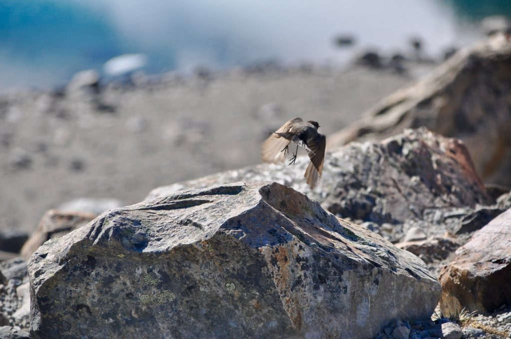 Vogel fliegt über Steinfelsen an der Laguna de los Tres bei El Chaltén.