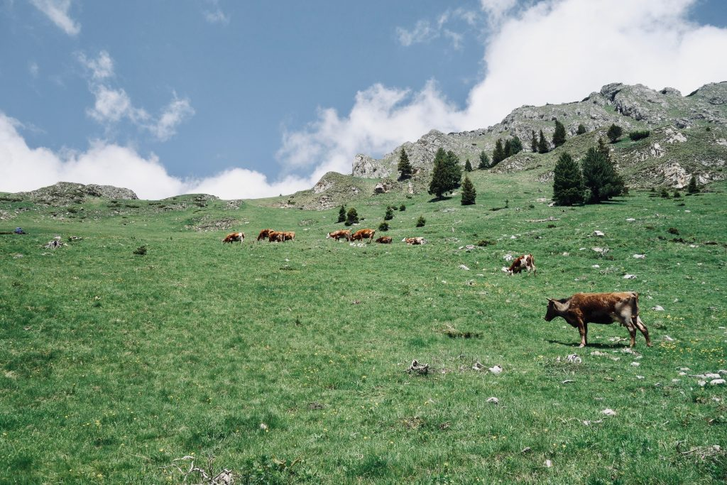 Kühe grasen auf einer Wiese auf dem Peaks of the Balkans.
